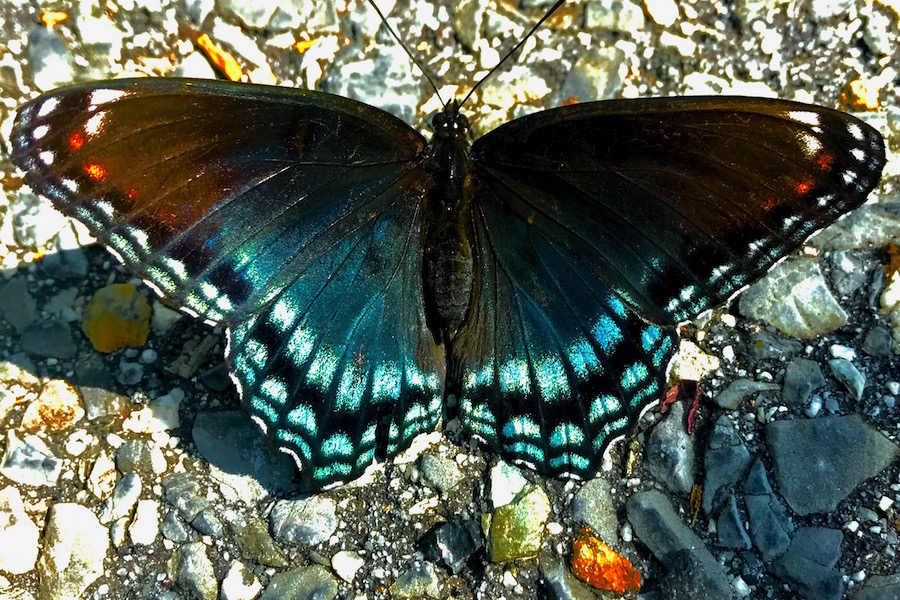Photo of a butterfly by Emma Shaller.